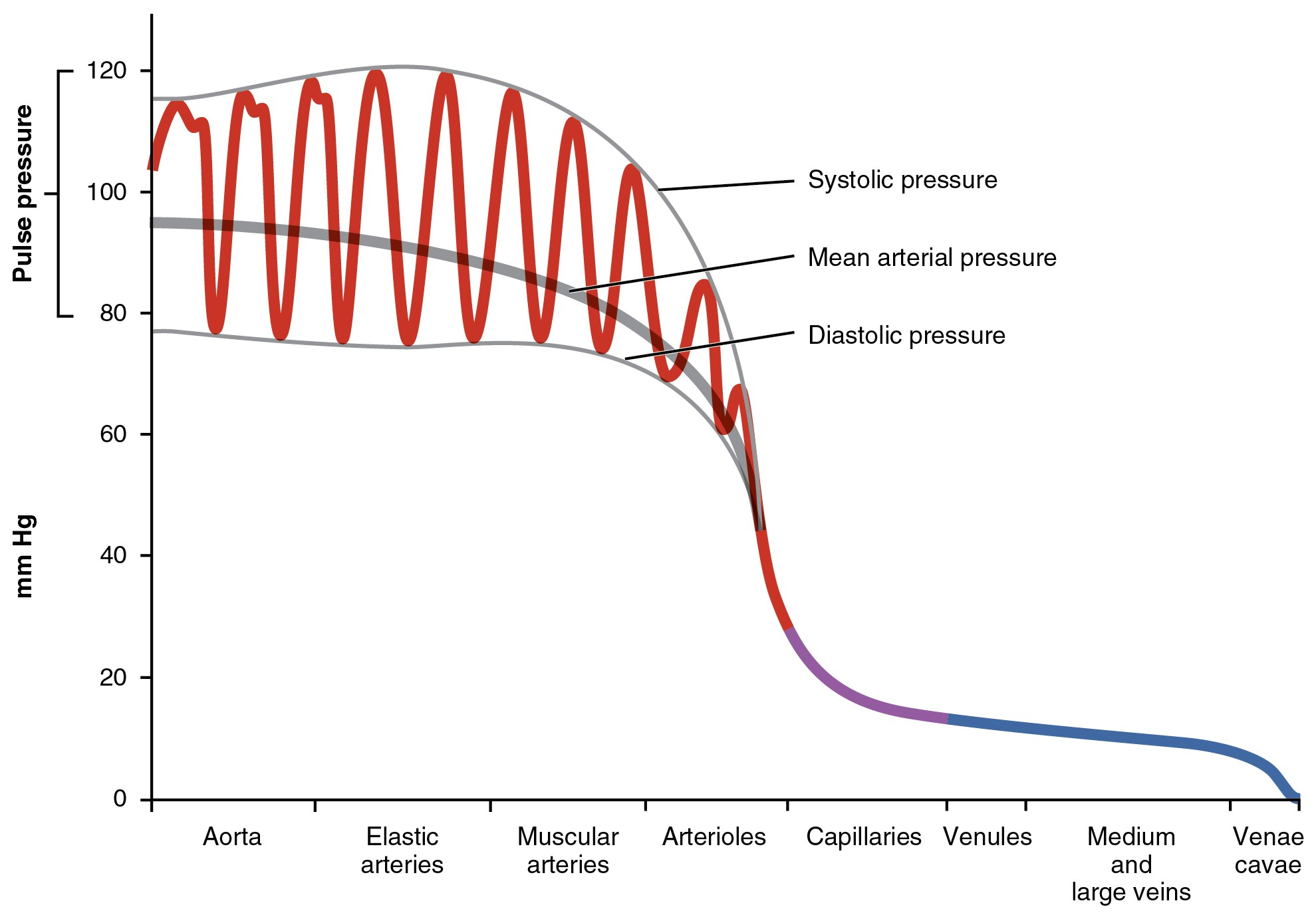 This graph shows the value of pulse pressure in different types of blood vessels