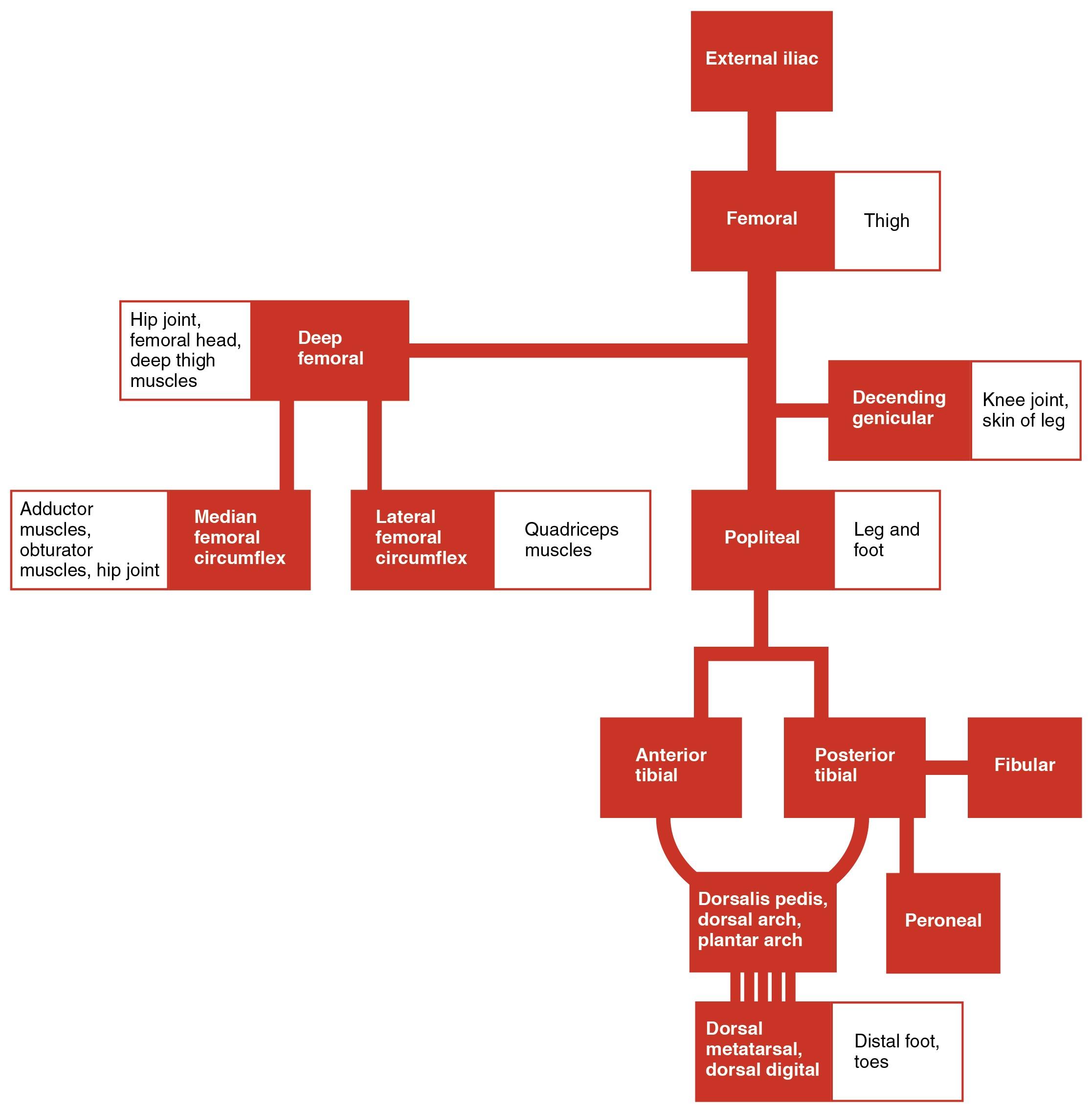 File 2130 Lower Limb Arteries Chart