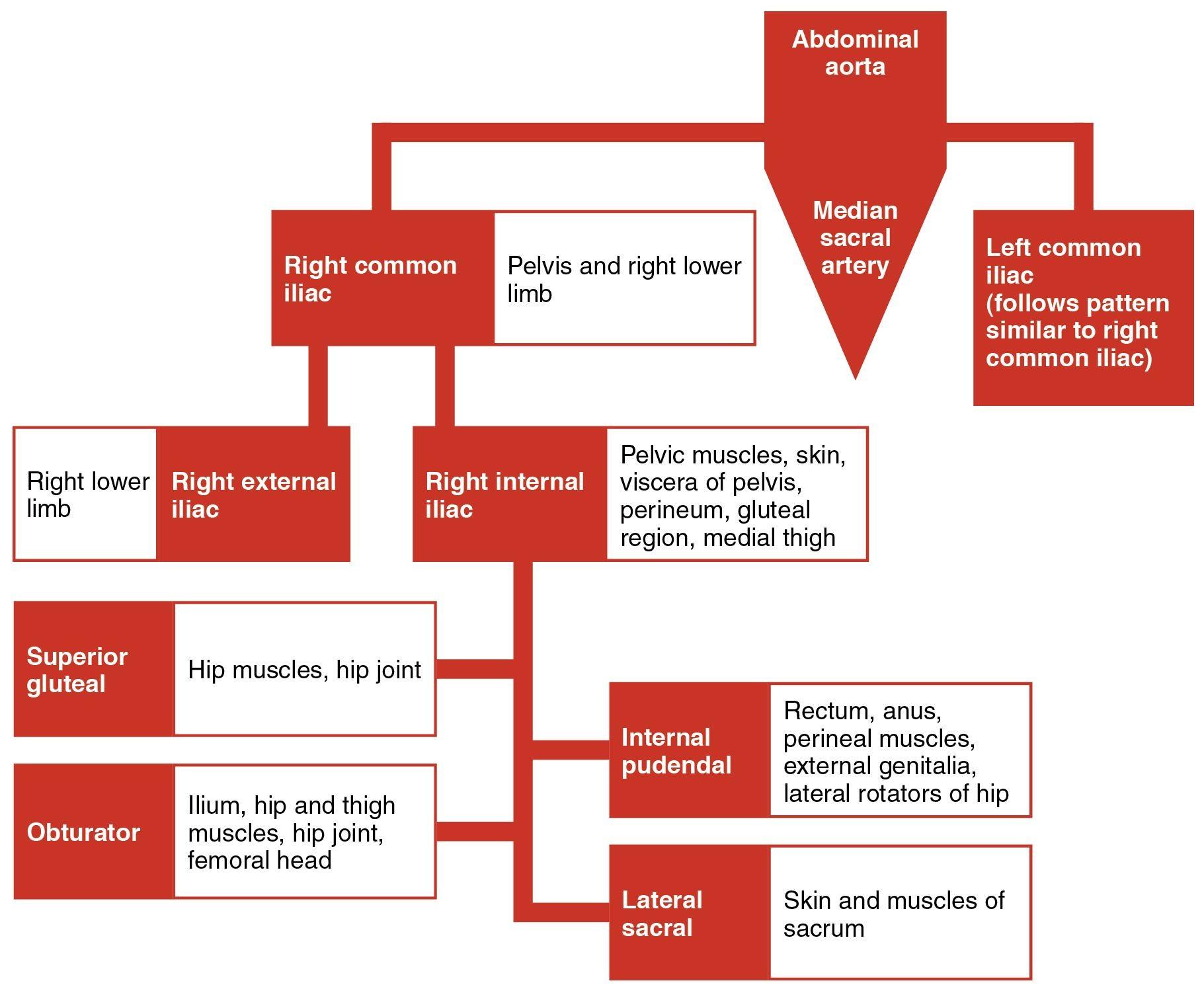 femoral artery branches Google Search