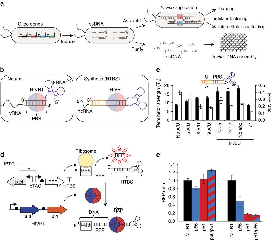 Genetic encoding of DNA nanostructures and their self assembly in living bacteria