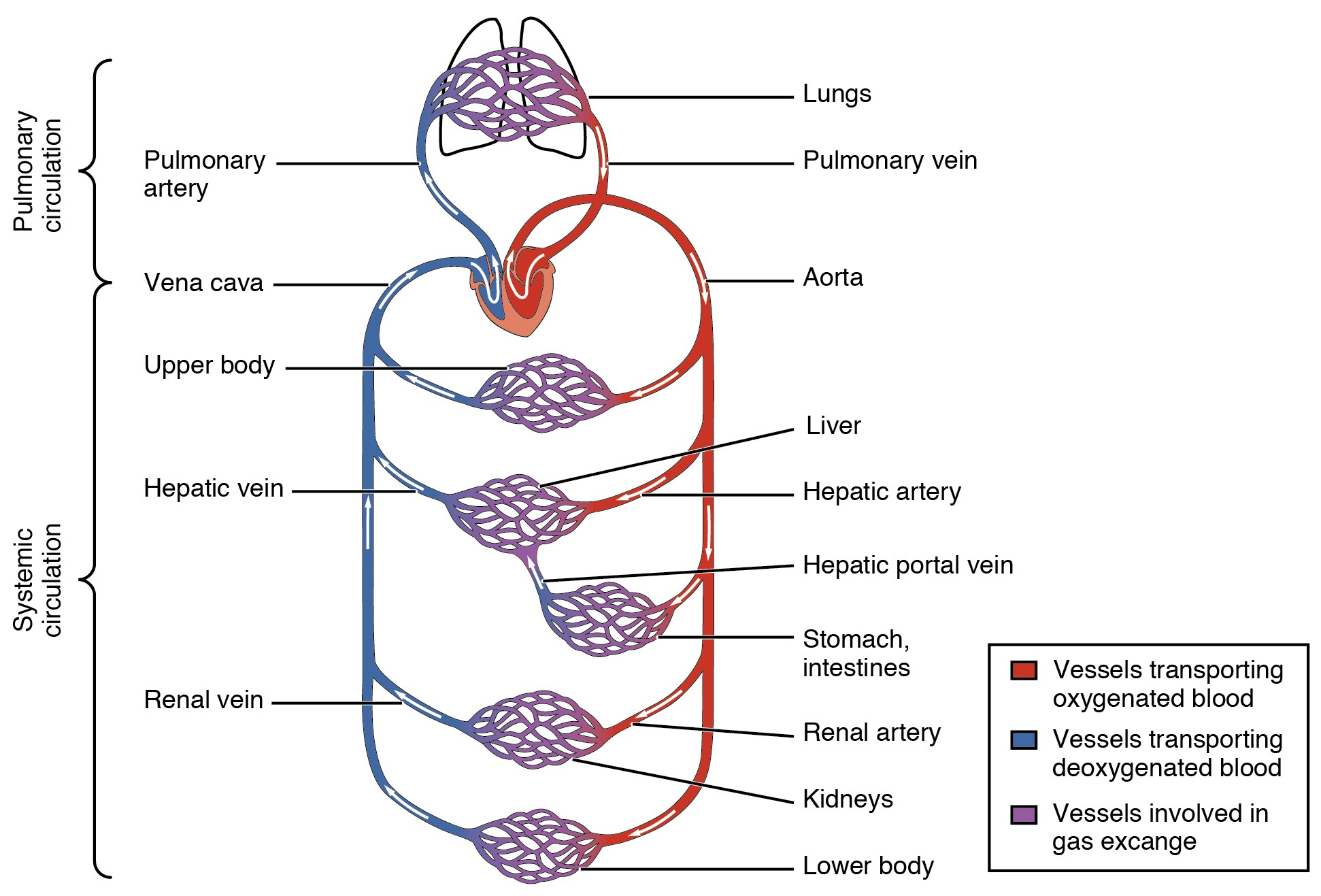 Blood Flow Through The Body Diagram File2101 Blood Flow Through The